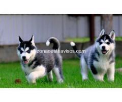 Para la venta Siberian cachorros macho y hembra