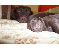 Venta de Cachorros Labrador Chocolate